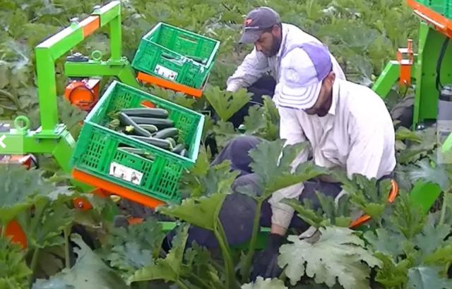 raccolta zucchine